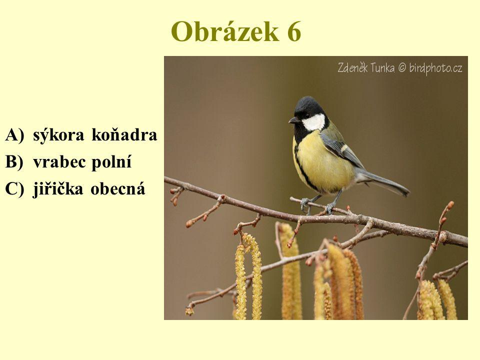 Obrázek 6 sýkora koňadra vrabec polní jiřička obecná