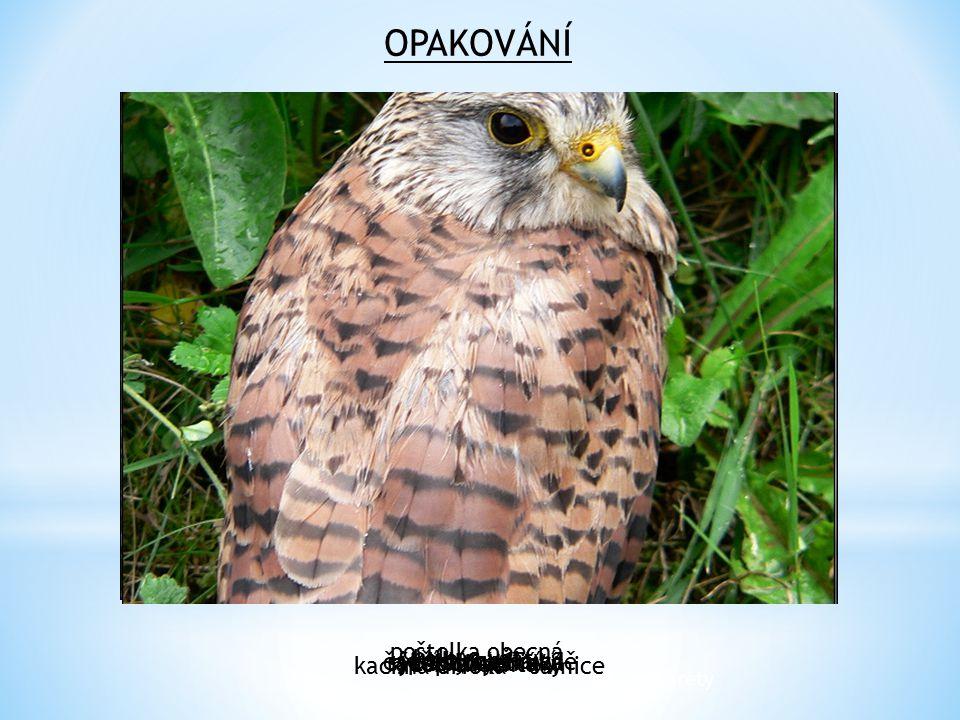 OPAKOVÁNÍ poštolka obecná kalous ušatý kachna divoká - samice