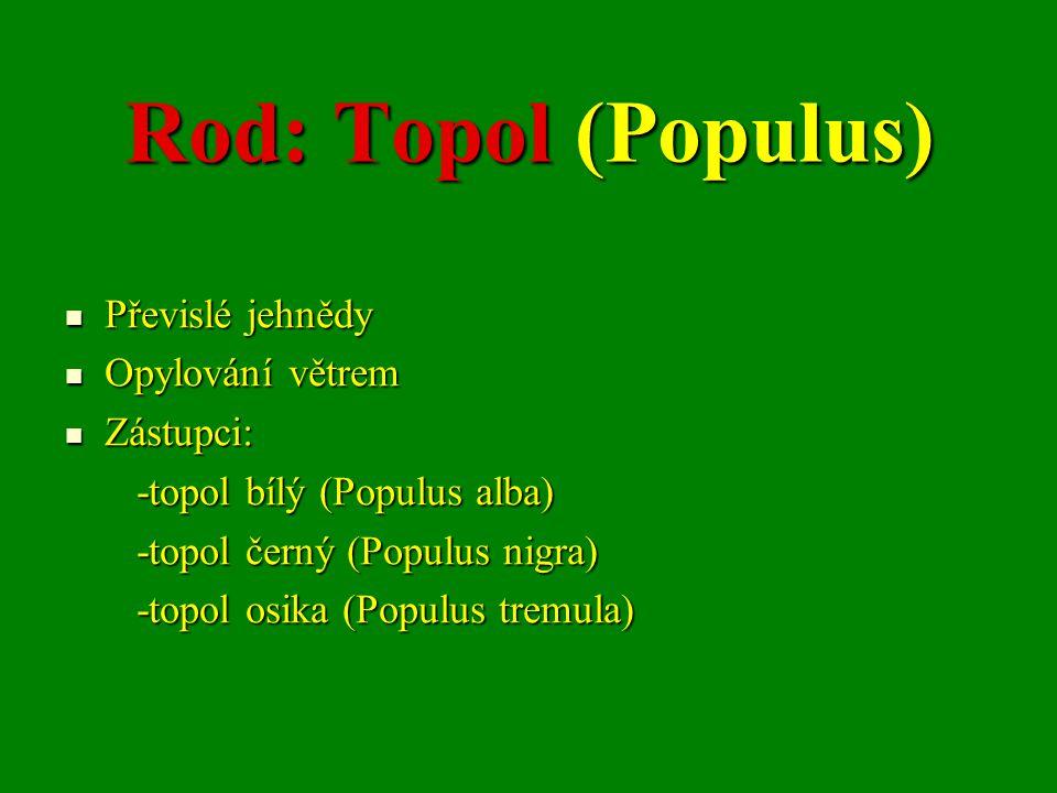 Rod: Topol (Populus) Převislé jehnědy Opylování větrem Zástupci: