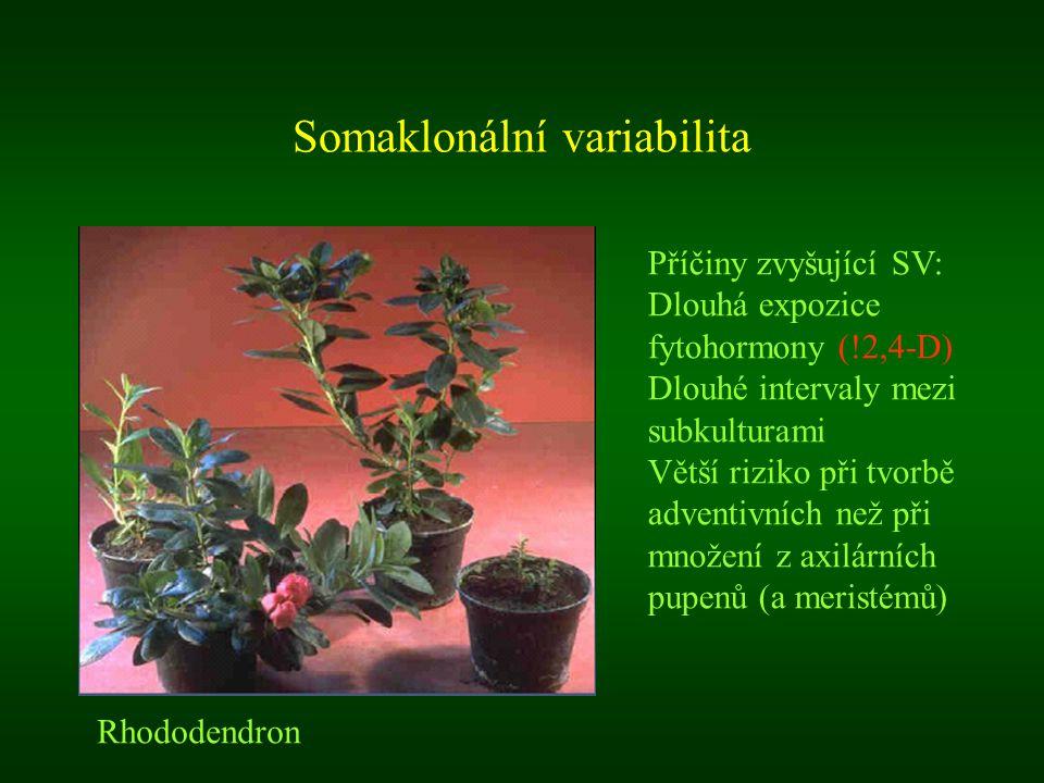 Somaklonální variabilita