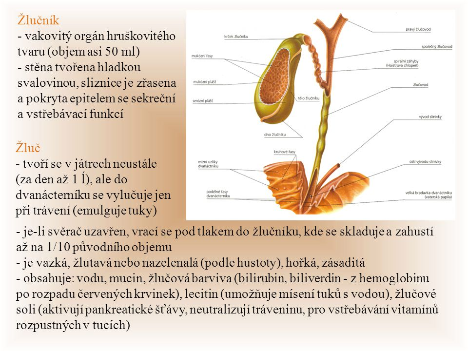 Žlučník - vakovitý orgán hruškovitého tvaru (objem asi 50 ml)