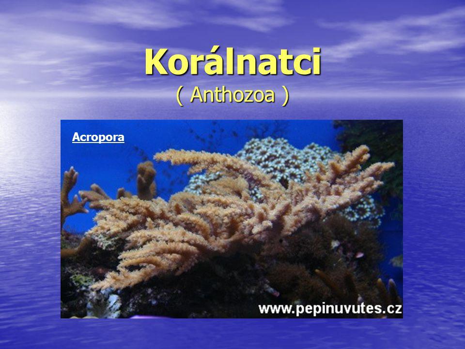 Korálnatci ( Anthozoa )