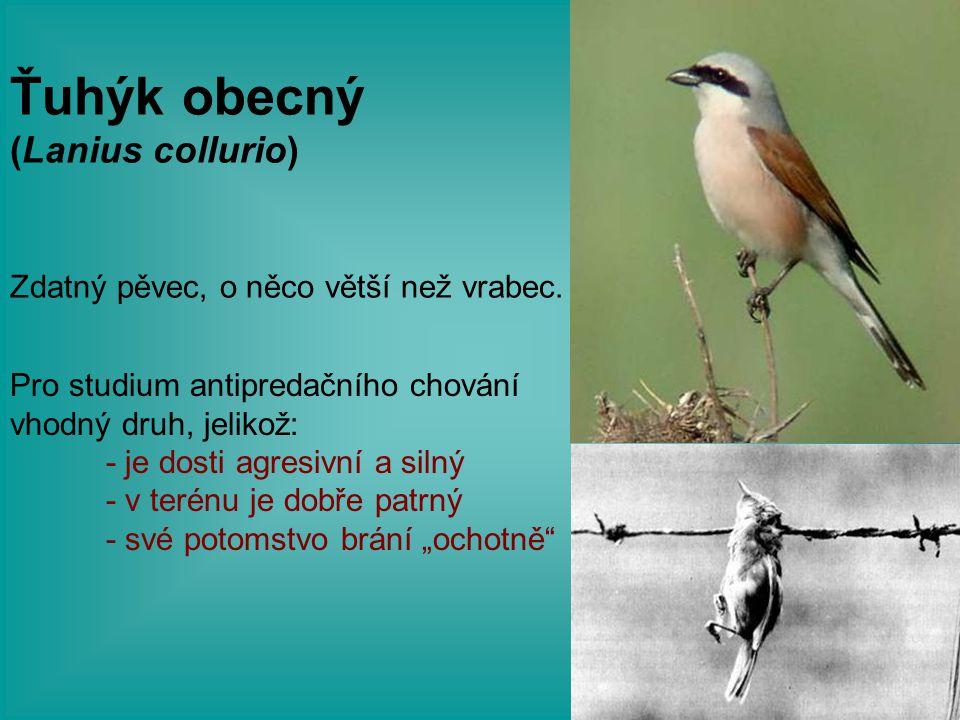 Ťuhýk obecný (Lanius collurio) Zdatný pěvec, o něco větší než vrabec.