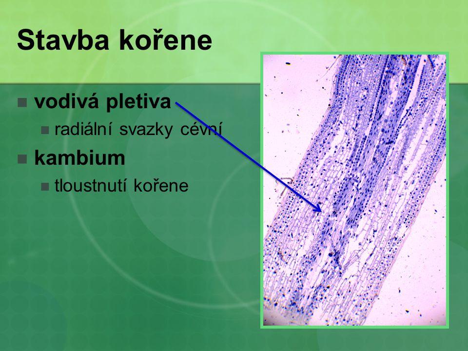 Stavba kořene vodivá pletiva kambium radiální svazky cévní