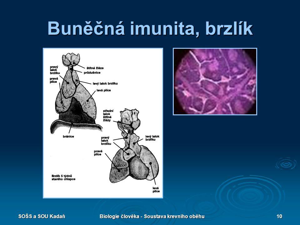 Buněčná imunita, brzlík