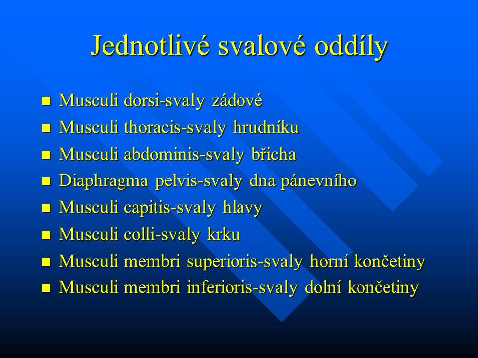 Jednotlivé svalové oddíly