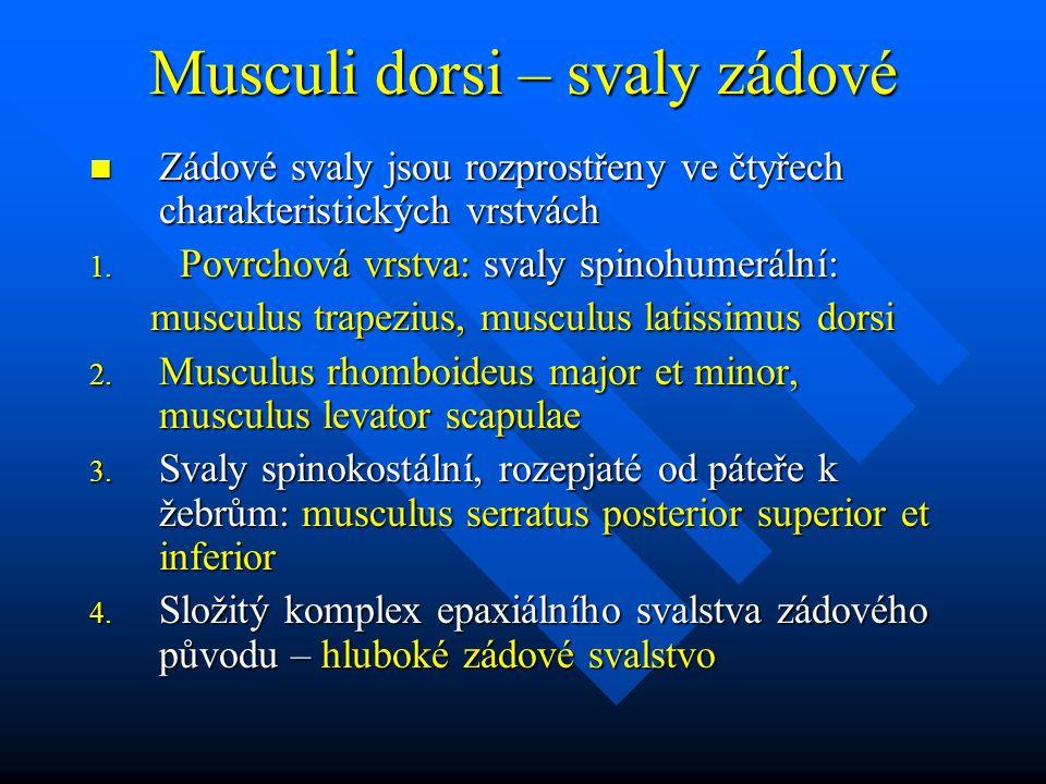 Musculi dorsi – svaly zádové