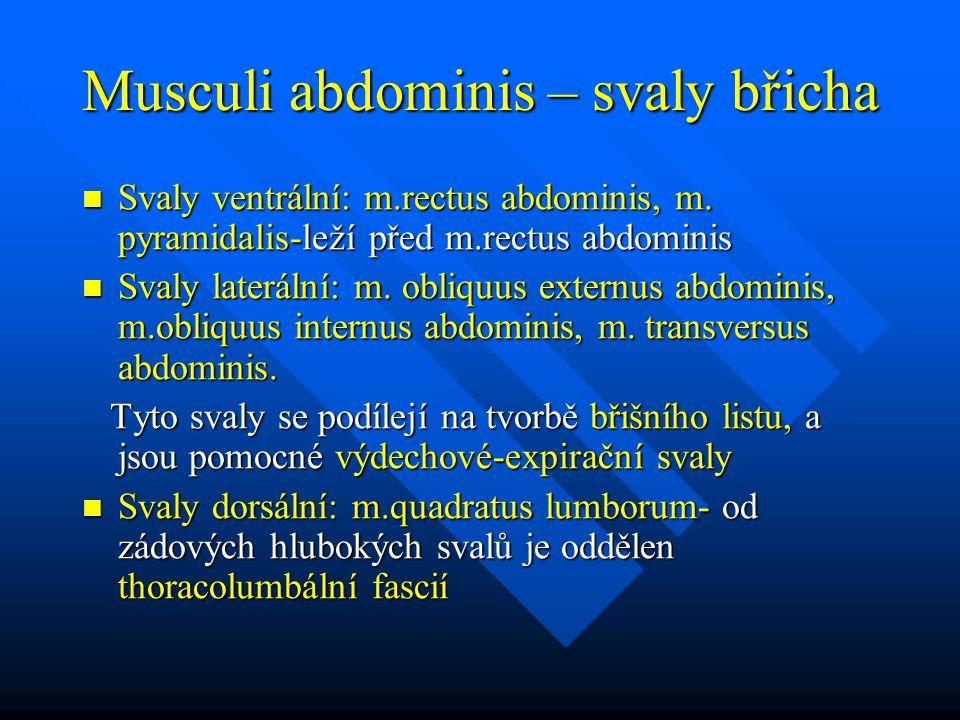 Musculi abdominis – svaly břicha