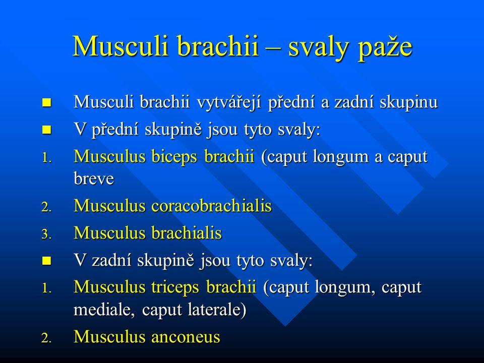 Musculi brachii – svaly paže