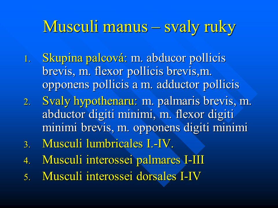 Musculi manus – svaly ruky