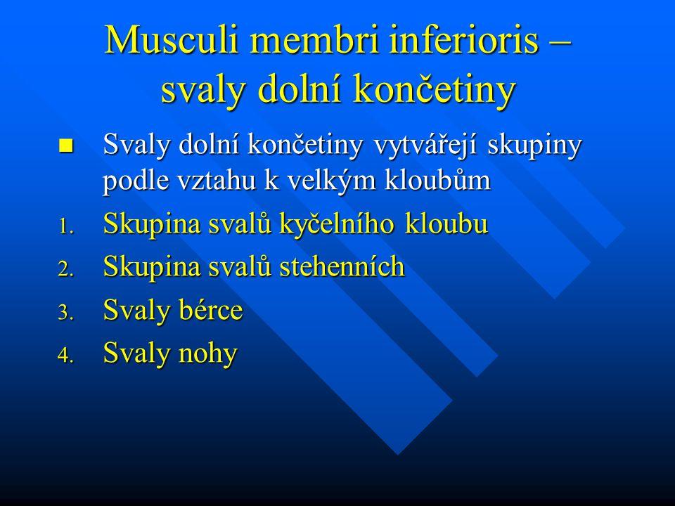 Musculi membri inferioris – svaly dolní končetiny