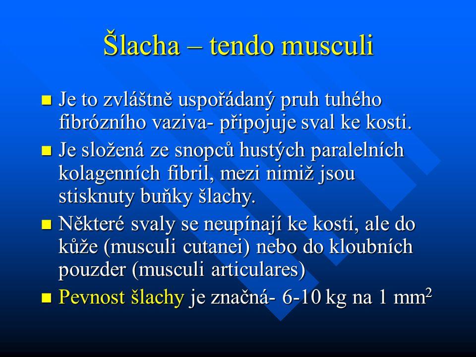 Šlacha – tendo musculi Je to zvláštně uspořádaný pruh tuhého fibrózního vaziva- připojuje sval ke kosti.
