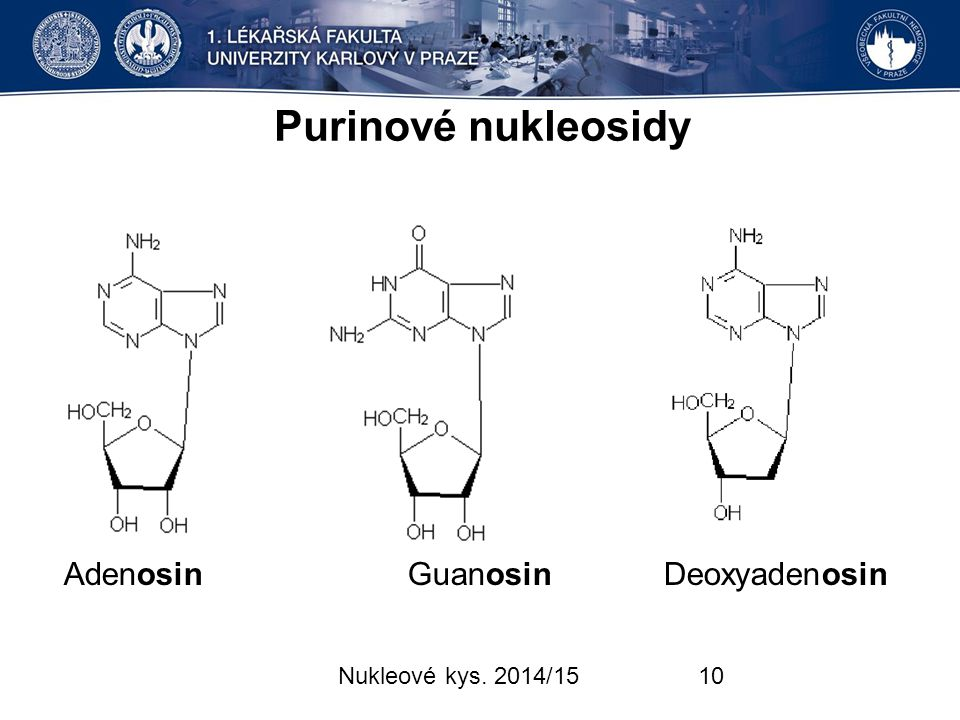 Purinové nukleosidy Adenosin Guanosin Deoxyadenosin
