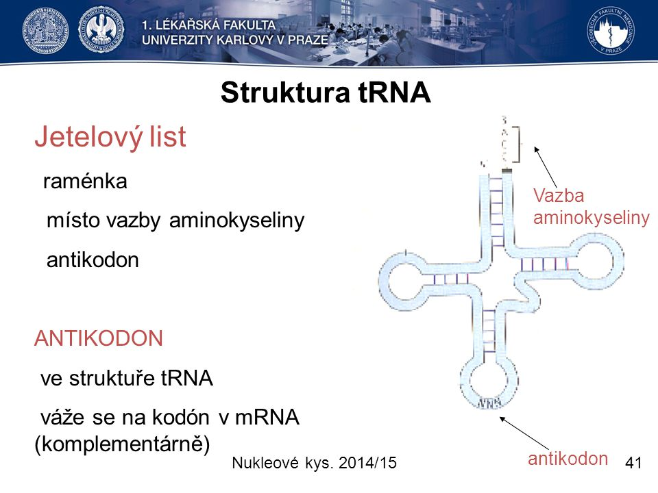 Struktura tRNA Jetelový list místo vazby aminokyseliny antikodon
