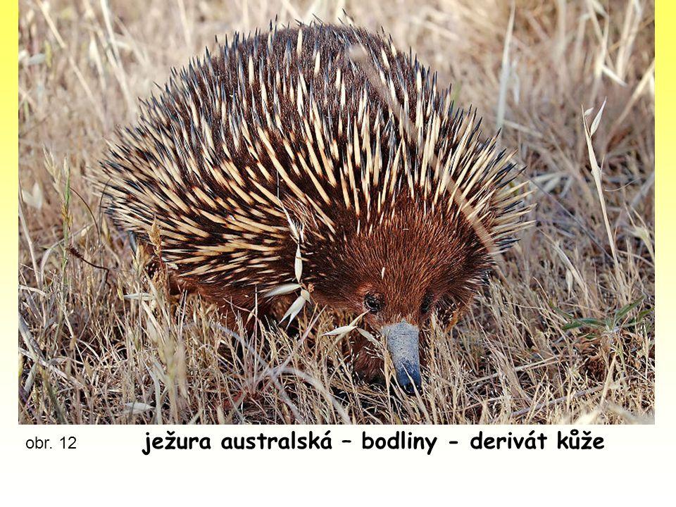 ježura australská – bodliny - derivát kůže