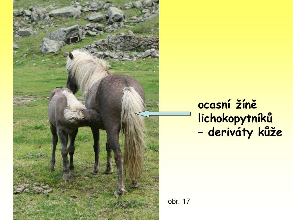 ocasní žíně lichokopytníků – deriváty kůže obr. 17