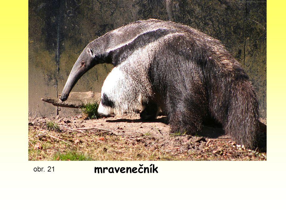 mravenečník obr. 21