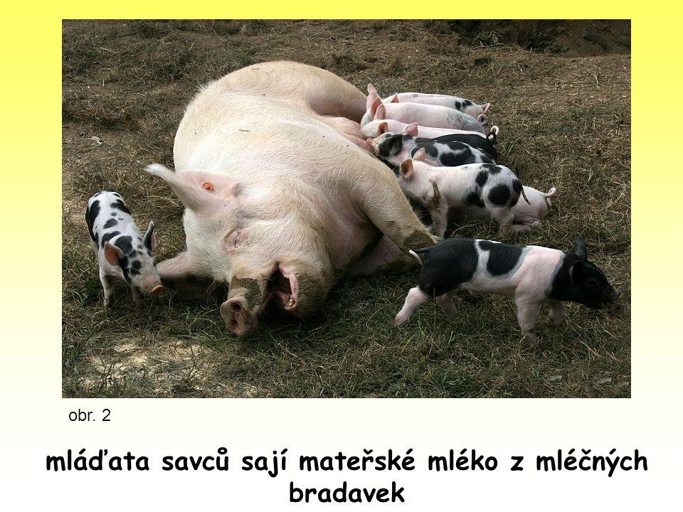 mláďata savců sají mateřské mléko z mléčných bradavek