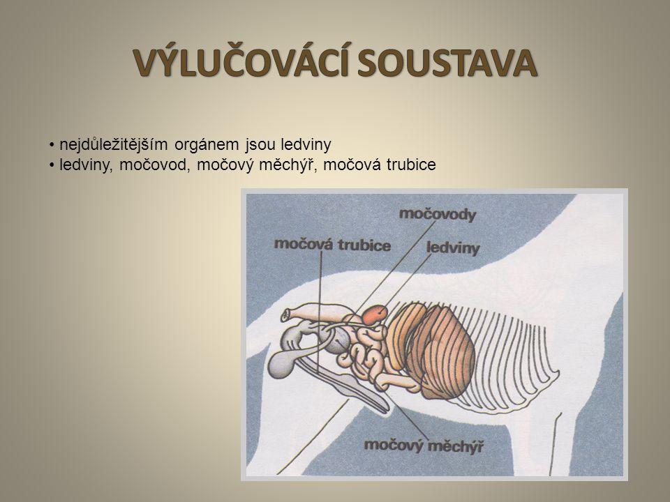 VÝLUČOVÁCÍ SOUSTAVA • nejdůležitějším orgánem jsou ledviny