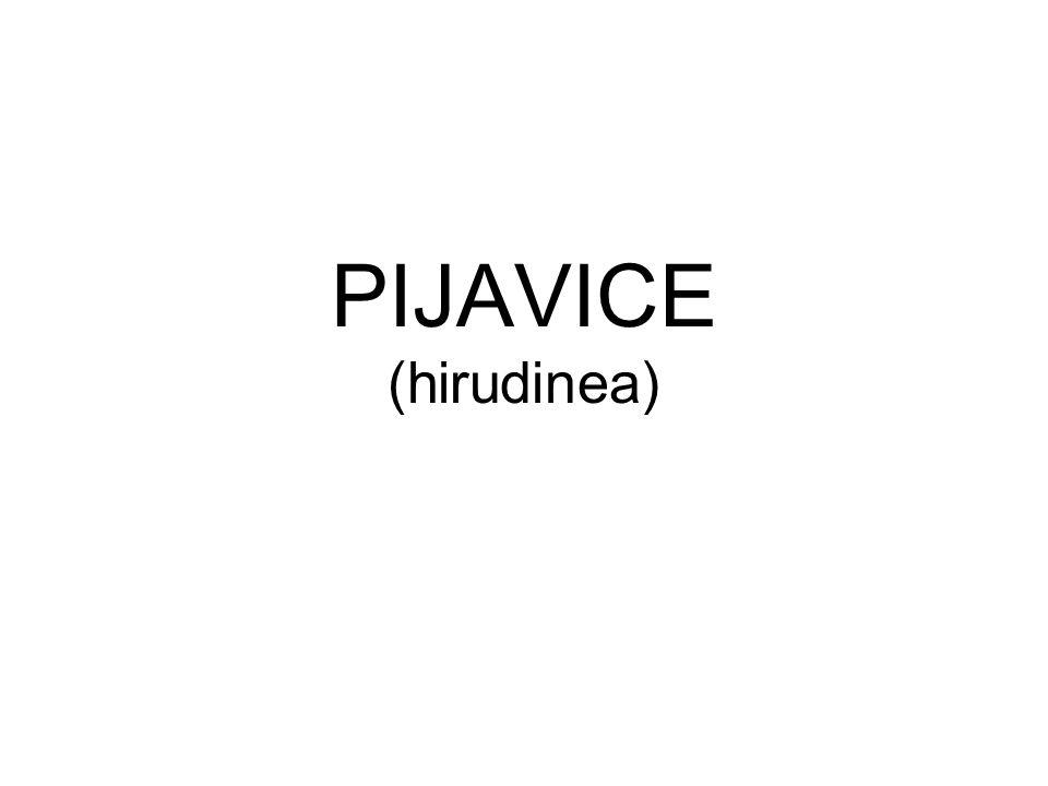 PIJAVICE (hirudinea)