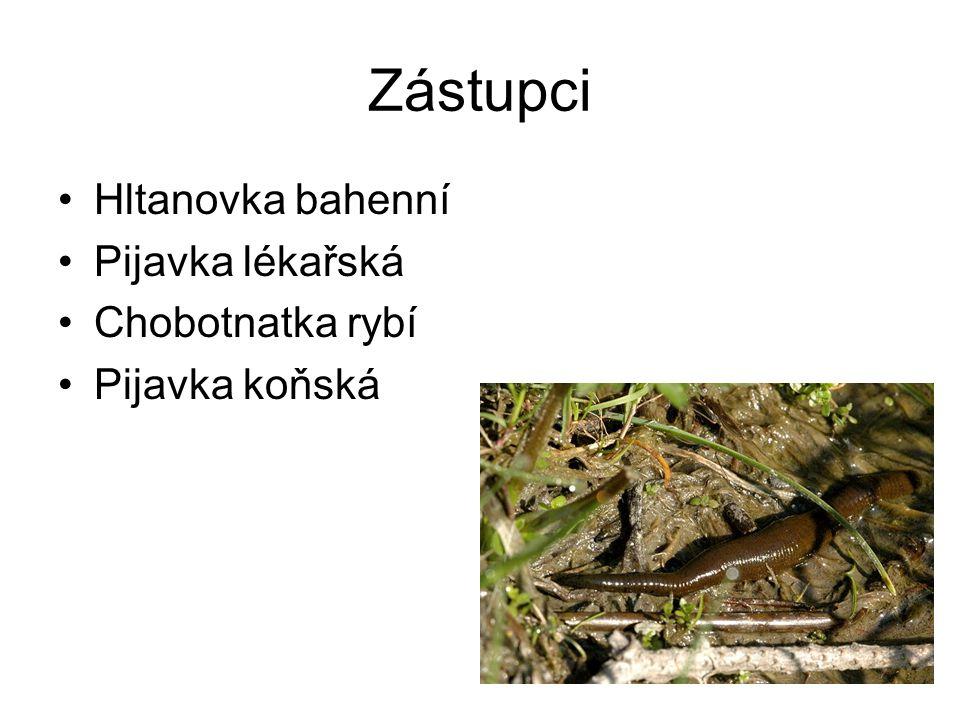 Zástupci Hltanovka bahenní Pijavka lékařská Chobotnatka rybí