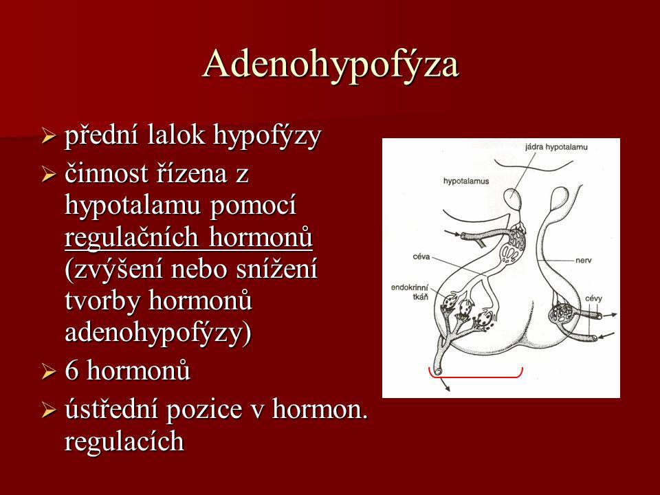 Adenohypofýza přední lalok hypofýzy