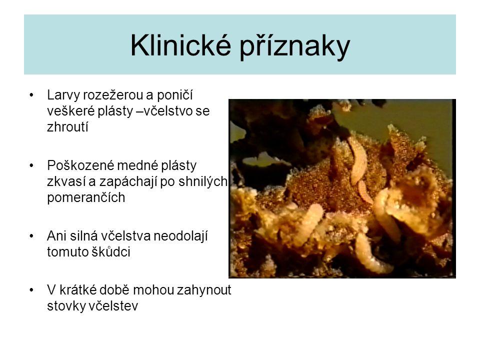Klinické příznaky Larvy rozežerou a poničí veškeré plásty –včelstvo se zhroutí. Poškozené medné plásty zkvasí a zapáchají po shnilých pomerančích.