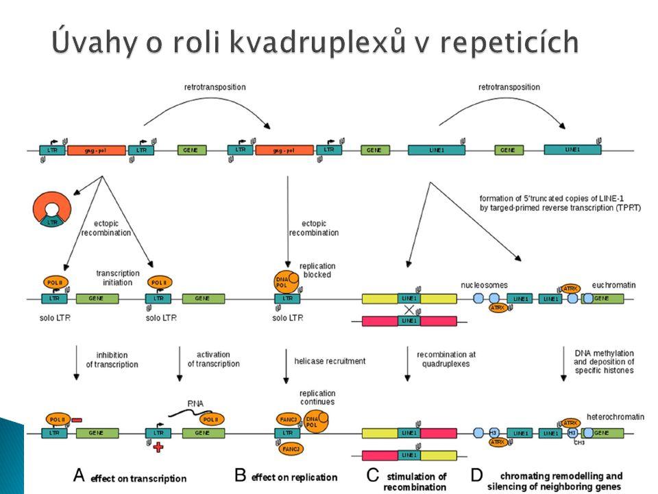 Úvahy o roli kvadruplexů v repeticích