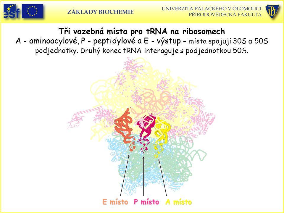 Tři vazebná místa pro tRNA na ribosomech A - aminoacylové, P - peptidylové a E - výstup – místa spojují 30S a 50S podjednotky. Druhý konec tRNA interaguje s podjednotkou 50S.