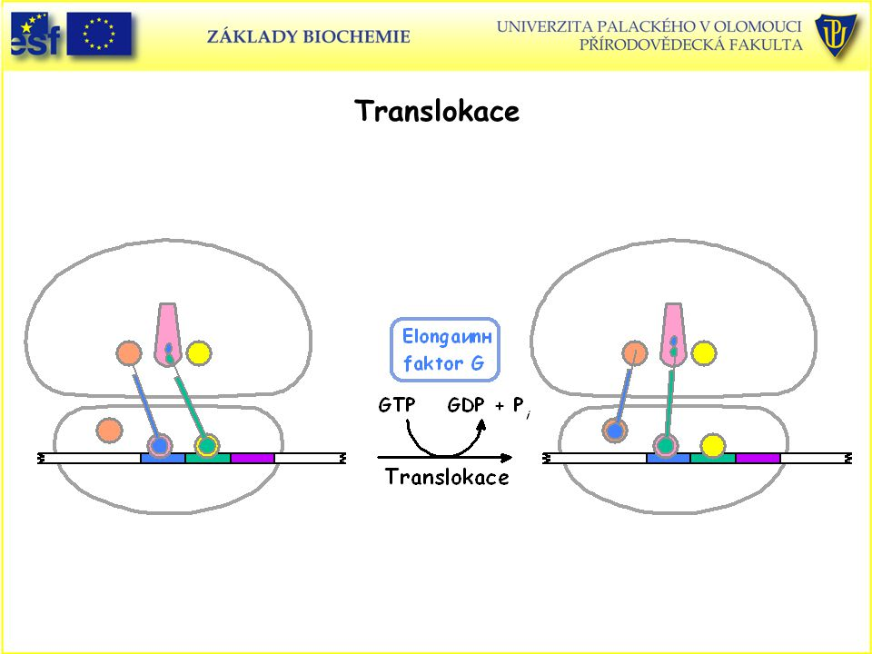 Translokace Biosyntéza proteinů, translokace
