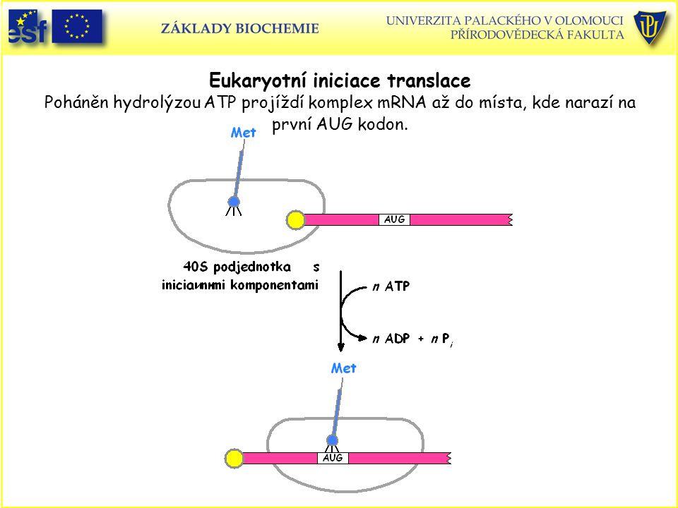 Eukaryotní iniciace translace Poháněn hydrolýzou ATP projíždí komplex mRNA až do místa, kde narazí na první AUG kodon.