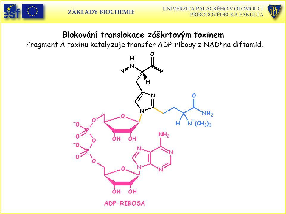Blokování translokace záškrtovým toxinem Fragment A toxinu katalyzuje transfer ADP-ribosy z NAD+ na diftamid.