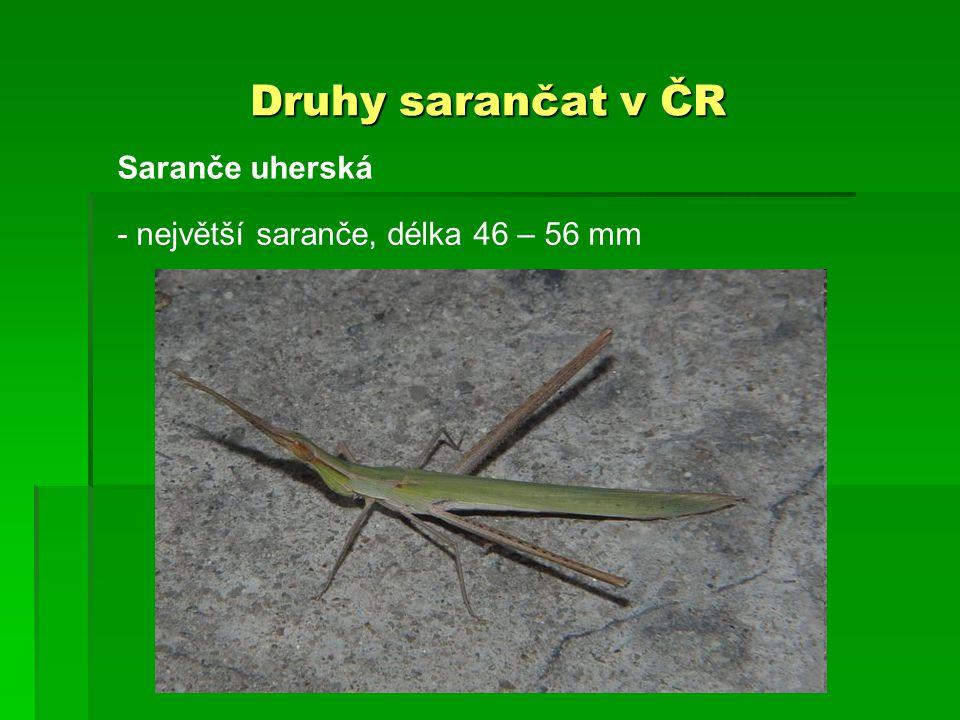 Druhy sarančat v ČR Saranče uherská