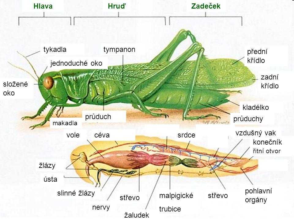 Hlava Hruď Zadeček tykadla tympanon přední křídlo jednoduché oko
