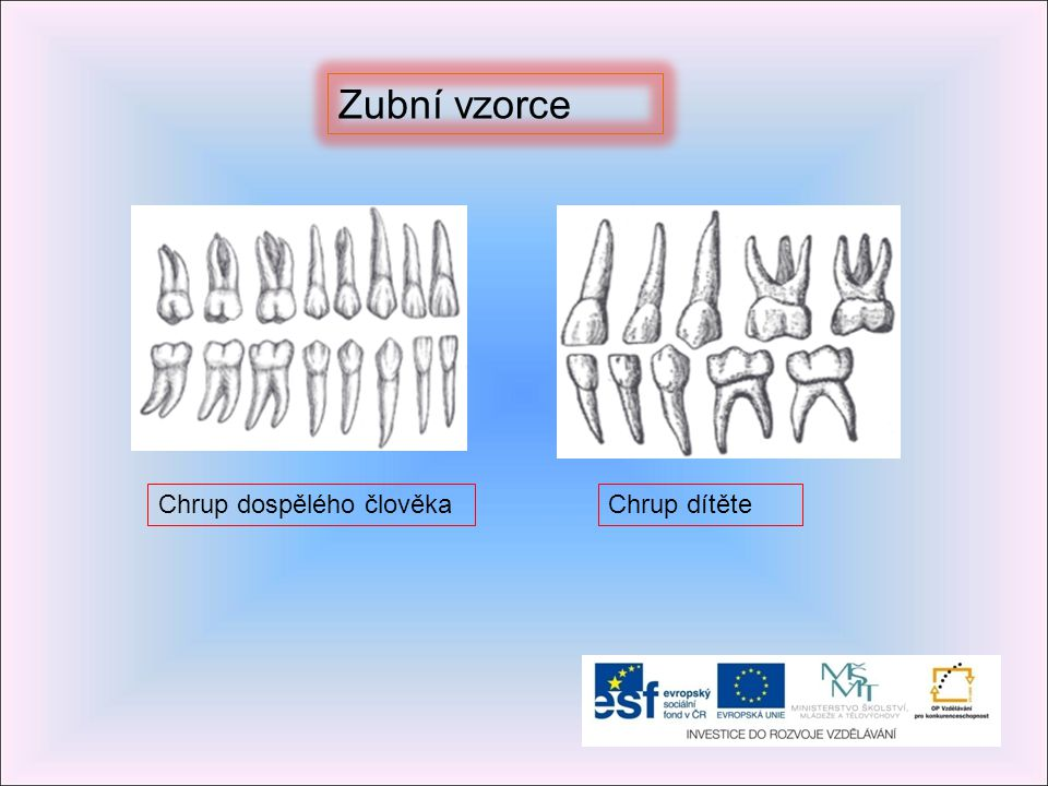 Zubní vzorce Chrup dospělého člověka Chrup dítěte