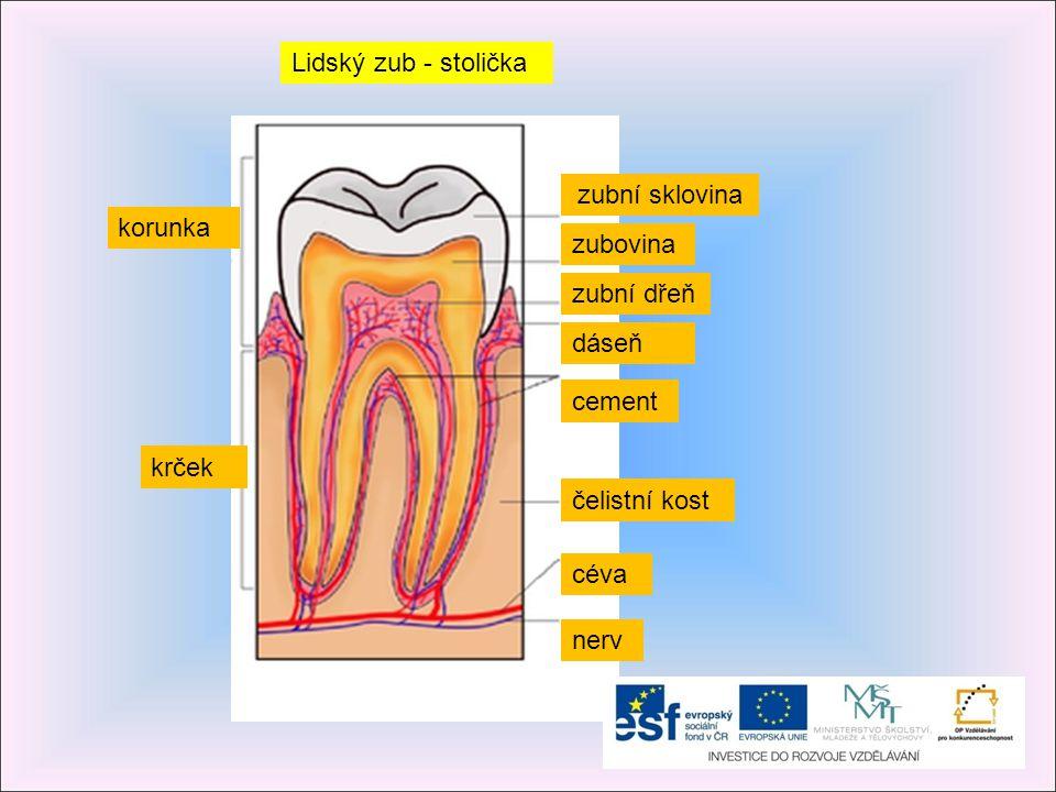 Lidský zub - stolička zubní sklovina. korunka. zubovina. zubní dřeň. dáseň. cement. krček. čelistní kost.