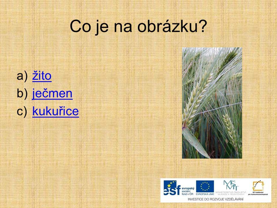 Co je na obrázku žito ječmen kukuřice