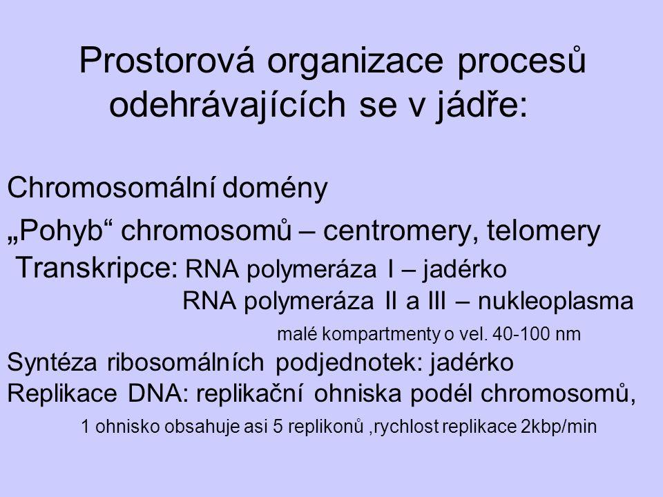 """Prostorová organizace procesů odehrávajících se v jádře: Chromosomální domény """"Pohyb chromosomů – centromery, telomery Transkripce: RNA polymeráza I – jadérko RNA polymeráza II a III – nukleoplasma malé kompartmenty o vel."""