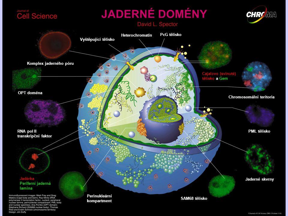 JADERNÉ DOMÉNY Heterochromatin PcG tělísko Vyštěpující tělísko