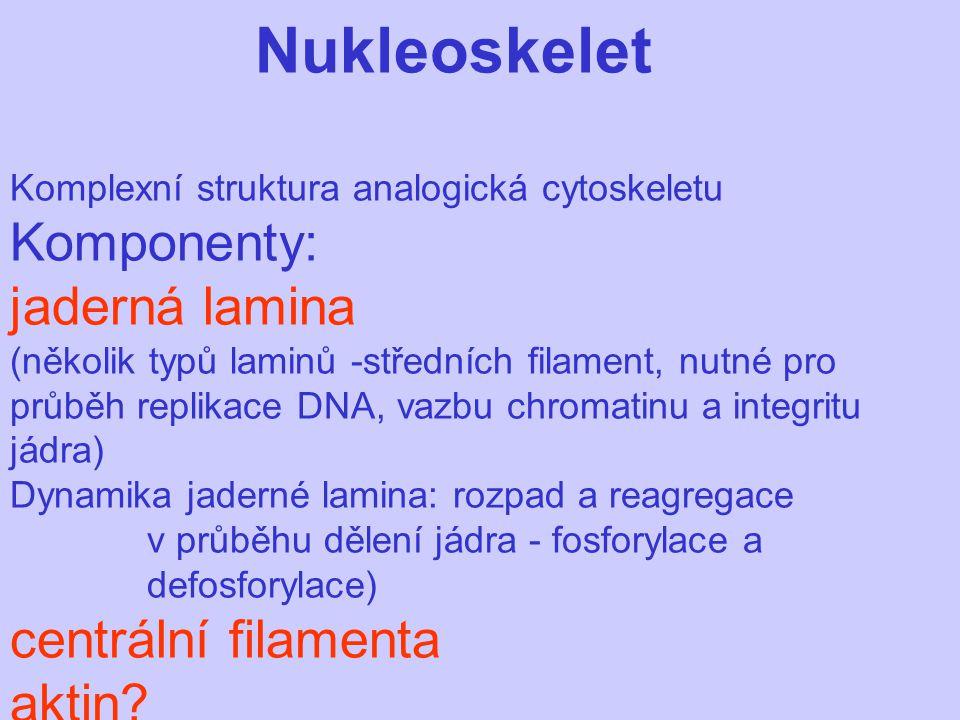 Nukleoskelet Komplexní struktura analogická cytoskeletu Komponenty: jaderná lamina (několik typů laminů -středních filament, nutné pro průběh replikace DNA, vazbu chromatinu a integritu jádra) Dynamika jaderné lamina: rozpad a reagregace v průběhu dělení jádra - fosforylace a defosforylace) centrální filamenta aktin