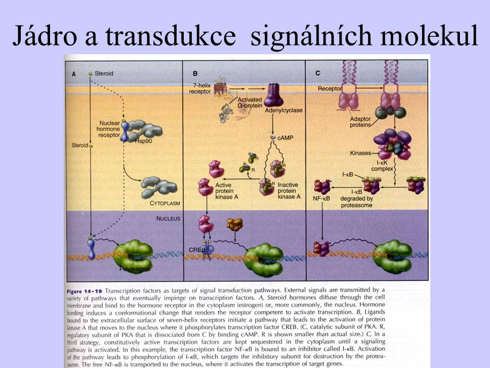 Jádro a transdukce signálních molekul