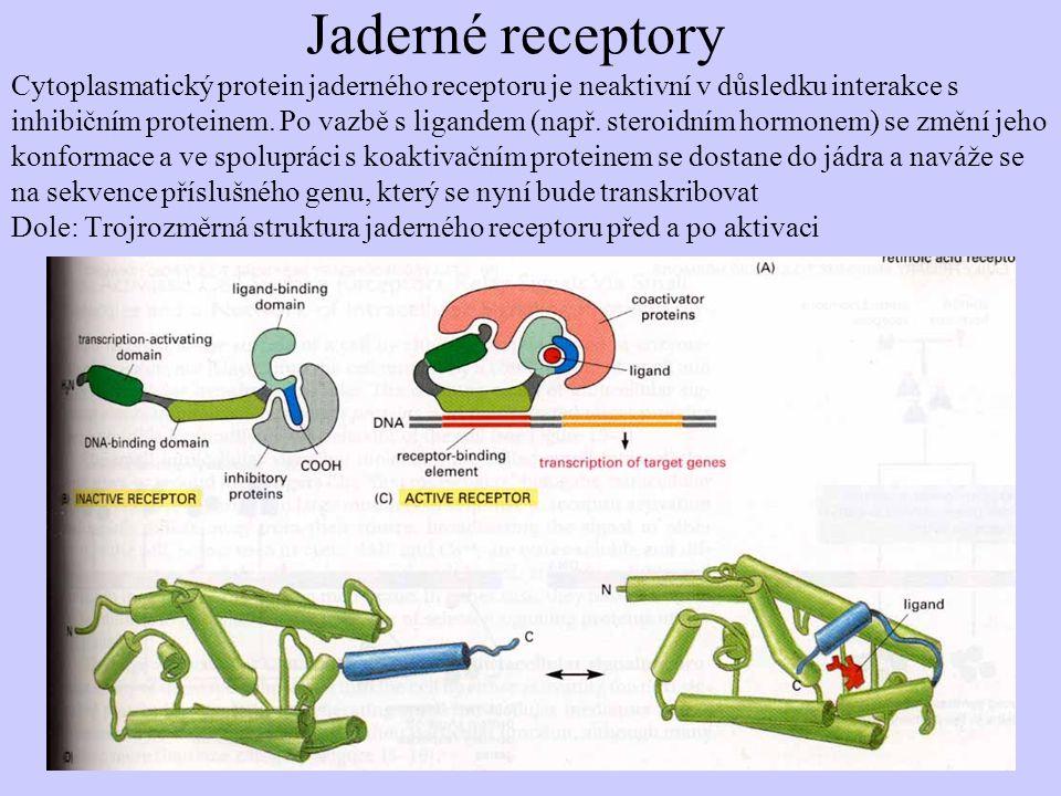 Jaderné receptory Cytoplasmatický protein jaderného receptoru je neaktivní v důsledku interakce s inhibičním proteinem.