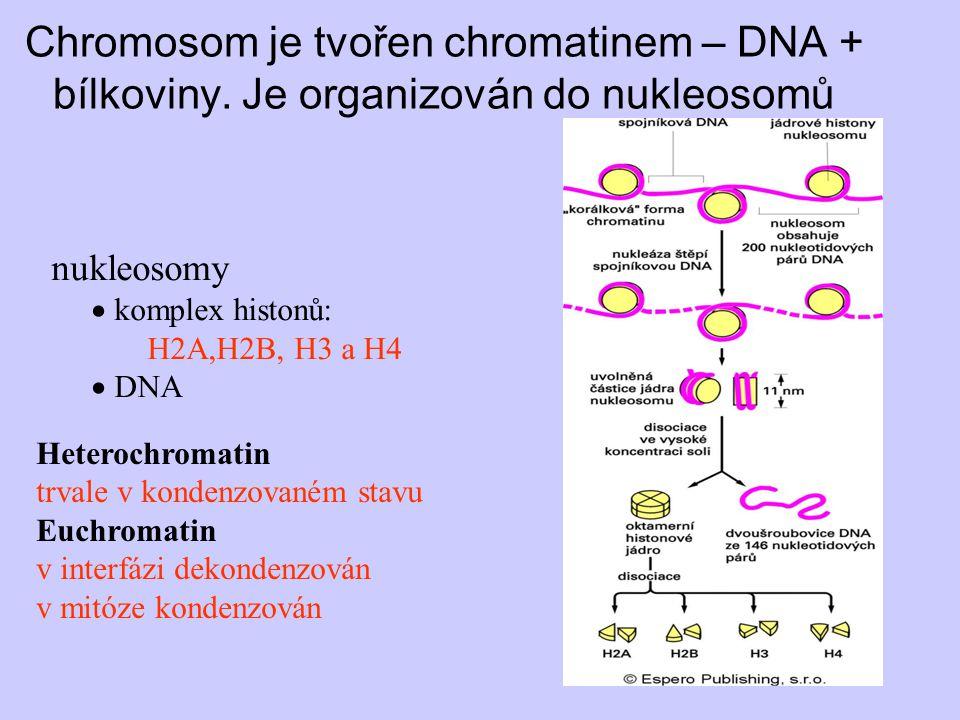 Chromosom je tvořen chromatinem – DNA + bílkoviny