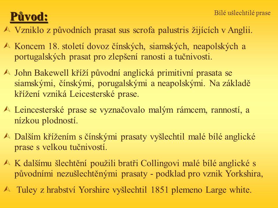Bílé ušlechtilé prase Původ: Vzniklo z původních prasat sus scrofa palustris žijících v Anglii.
