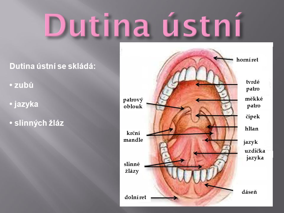 Dutina ústní Dutina ústní se skládá: • zubů • jazyka • slinných žláz
