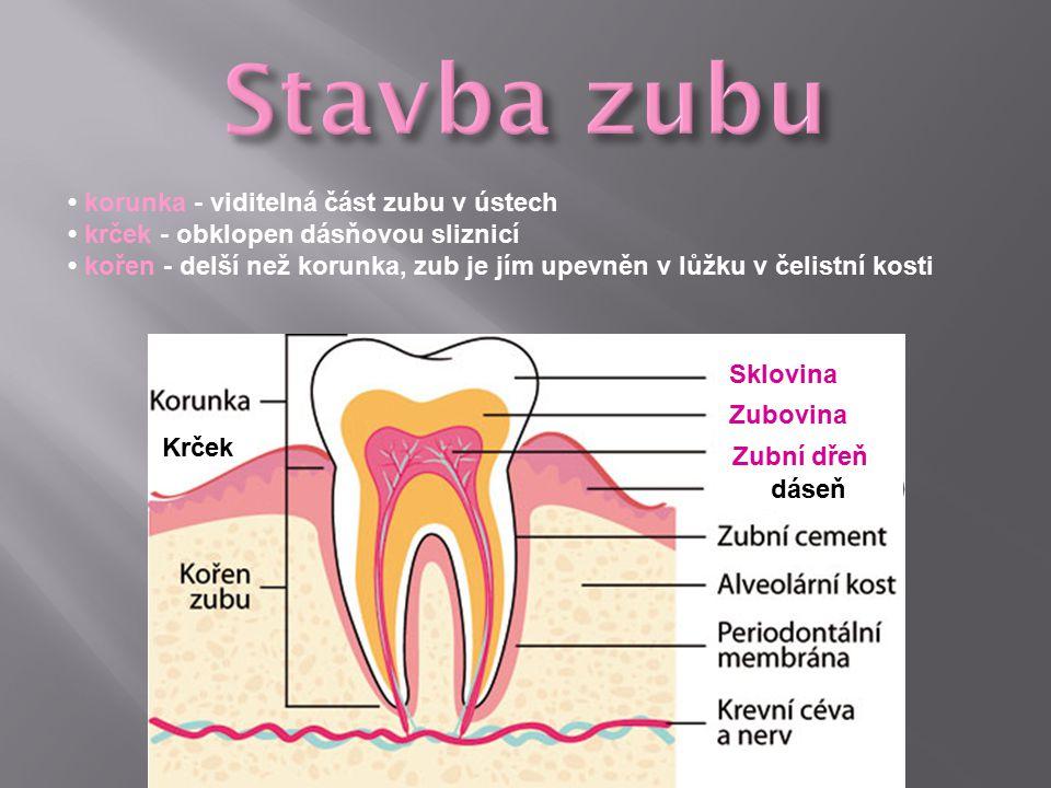 Stavba zubu • korunka - viditelná část zubu v ústech