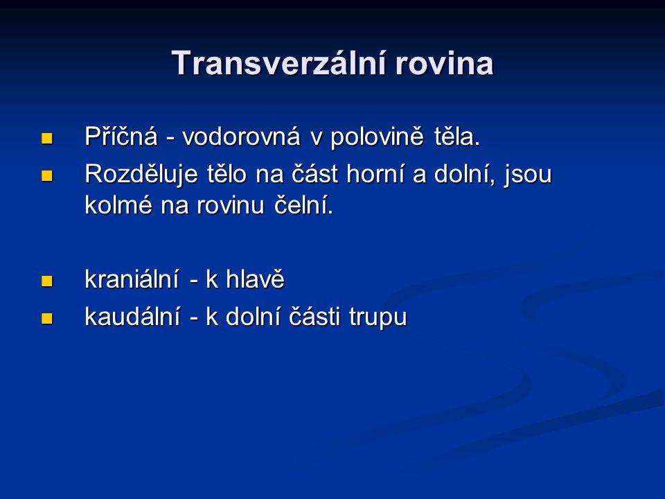 Transverzální rovina Příčná - vodorovná v polovině těla.