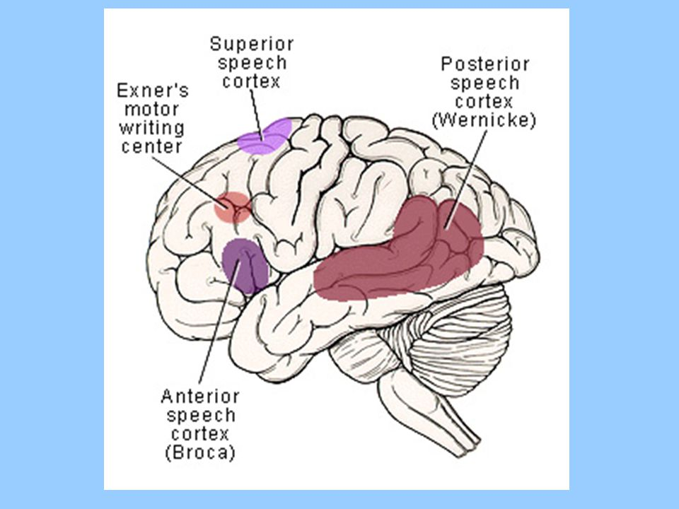 The accompanying figure illustrates the location of several regions of cortex that support language-related capabilities.