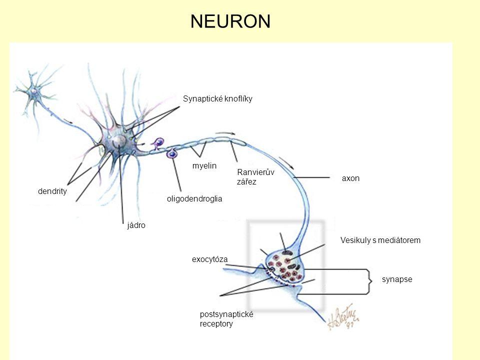 NEURON Synaptické knoflíky myelin Ranvierův zářez axon dendrity