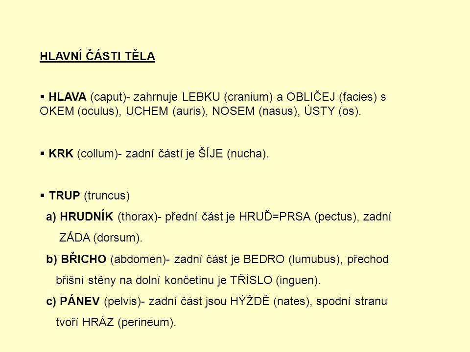 HLAVNÍ ČÁSTI TĚLA HLAVA (caput)- zahrnuje LEBKU (cranium) a OBLIČEJ (facies) s OKEM (oculus), UCHEM (auris), NOSEM (nasus), ÚSTY (os).